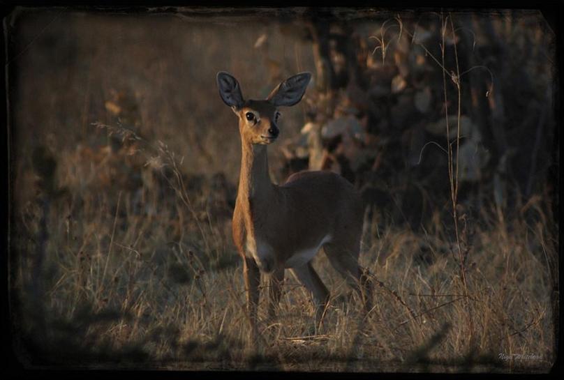 steenbok-by-nigel-whitehead-on-safari-wildlife-photography.jpg