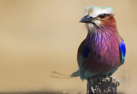Lilac Breasted Roller by Nigel Whitehead lunasonline