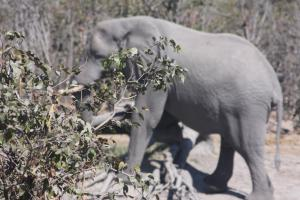 Bots elephant obscured by bush