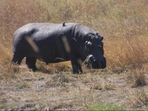 Bots hippo