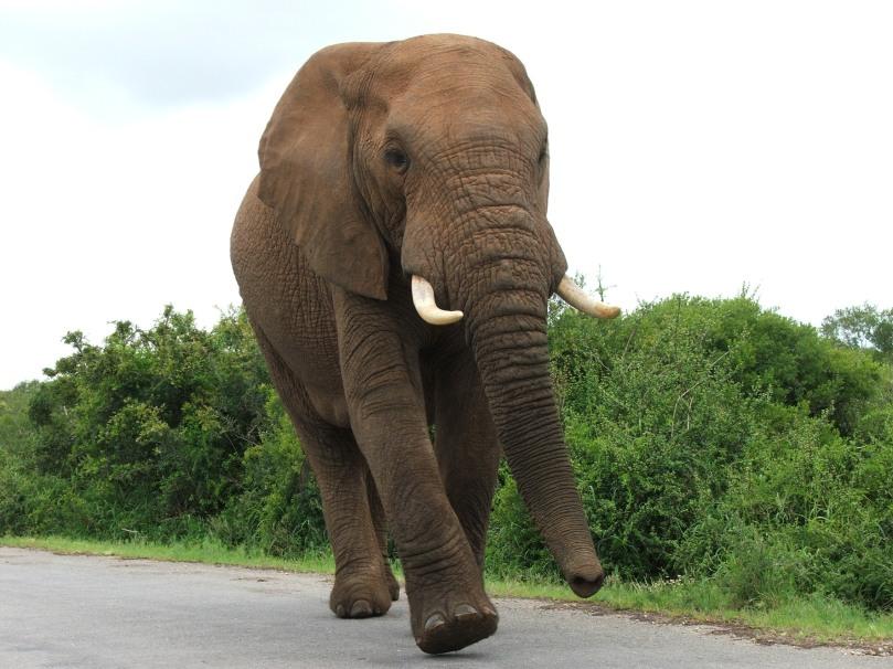 big elephant3